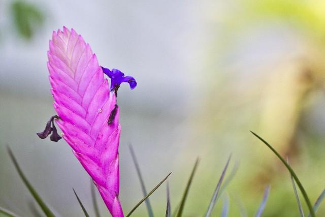 エアープランツの花